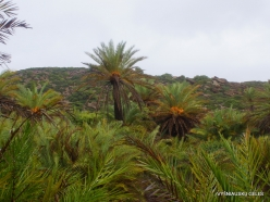 Vai Beach. Cretan Date Palm (Phoenix theophrasti) (7)