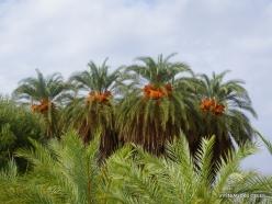 Vai Beach. Cretan Date Palm (Phoenix theophrasti) (8)