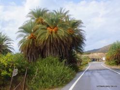Vai Beach. Cretan Date Palm (Phoenix theophrasti) (9)