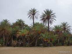 Vai Beach. Cretan Date Palm (Phoenix theophrasti)