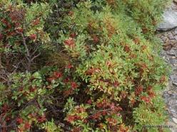 Vai Beach. Lentisk (Pistacia lentiscus) (2)
