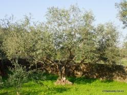 Capernaum. Olive tree (Olea europaea)
