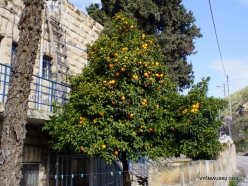 Jerusalem. Orange tree (Citrus x sinensis) (2)