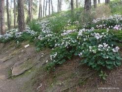 Near Gal'ed. Giv'at HaRakafot. Persian Cyclamen (Cyclamen persicum) (8)