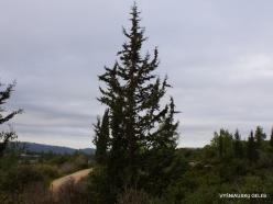 Near Kiryat Ye'arim. Mediterranean cypress (Cupressus sempervirens)
