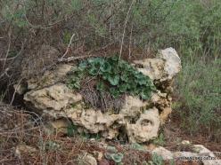 Near Kiryat Ye'arim. Persian Cyclamen (Cyclamen persicum) (5)