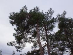 Near Kiryat Ye'arim. Pine tree (Pinus sp.)
