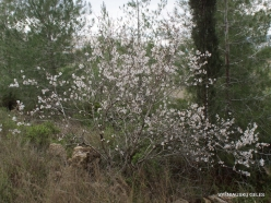Near Kiryat Ye'arim. Wild Common Almond (Amygdalus communis)