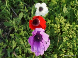 Near Megiddo. Color variations of Crown Anemone (Anemone coronaria) (13)