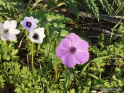 Near Megiddo. Color variations of Crown Anemone (Anemone coronaria) (15)