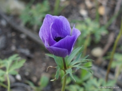Near Megiddo. Color variations of Crown Anemone (Anemone coronaria) (28)