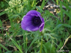 Near Megiddo. Color variations of Crown Anemone (Anemone coronaria) (3)