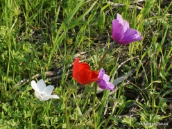 Near Megiddo. Color variations of Crown Anemone (Anemone coronaria) (7)