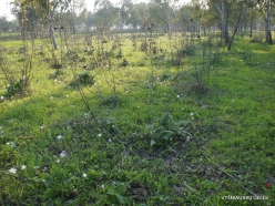 Near Megiddo. Crown Anemone (Anemone coronaria) and Wild Artichoke (Cynara syriaca)