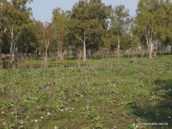 Near Megiddo. Wild Artichoke (Cynara syriaca) and Eucalyptus sp.