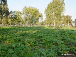 Near Megiddo. Wild Artichoke (Cynara syriaca)