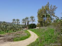 Yardenit. Date palms (Phoenix dactylifera)plantation (2)