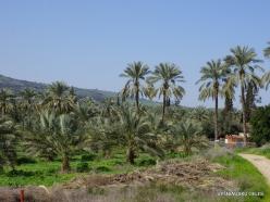 Yardenit. Date palms (Phoenix dactylifera)plantation (3)