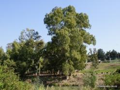 Yardenit. Jordan River. Eucalyptus sp.