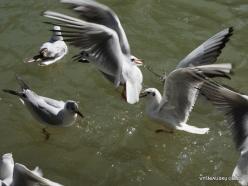 Yardenit. Jordan River. Gulls (3)