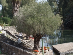 Yardenit. Jordan River. Olive tree (Olea europaea)