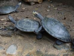 Guayaquil. Botanical garden. Colombian wood turtle (Rhinoclemmys melanosterna) (3)