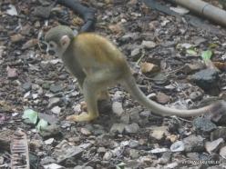Guayaquil. Botanical garden. Ecuadorian squirrel monkey (Saimiri sciureus macrodon) (2)