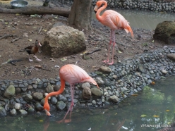 Guayaquil. Historical park. Chilean flamingo (Phoenicopterus chilensis) (3)