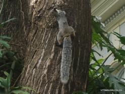 Guayaquil. Historical park. Guayaquil squirrel (Sciurus stramineus) (2)