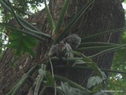 Guayaquil. Historical park. Guayaquil squirrel (Sciurus stramineus) (4)