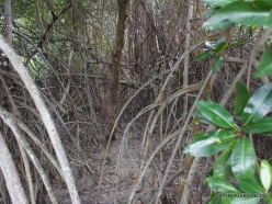Guayaquil. Historical park. Mangrove forest (4)