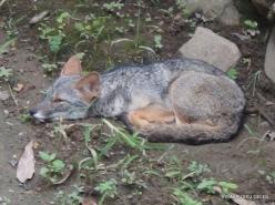 Guayaquil. Historical park. Peruvian desert fox (Lycalopex sechurae)