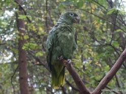 Guayaquil. Historical park. Scaly-naped parrot (Amazona mercenarius)
