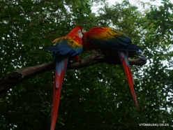 Guayaquil. Historical park. Scarlet macaw (Ara macao) (6)