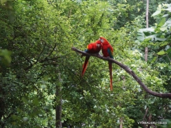 Guayaquil. Historical park. Scarlet macaw (Ara macao)