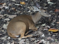 Guayaquil. Historical park. White-tailed deer (Odocoileus virginianus) (2)