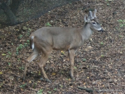 Guayaquil. Historical park. White-tailed deer (Odocoileus virginianus)