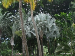 Guayaquil. Jardines del Malecon. Gray palm tree (Bismarckia nobilis)