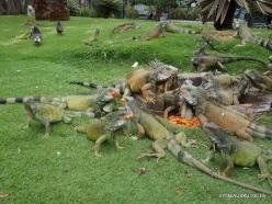 Guayaquil. Seminario park. Green iguana (Iguana iguana) (1)