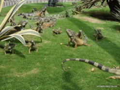 Guayaquil. Seminario park. Green iguana (Iguana iguana) (10)