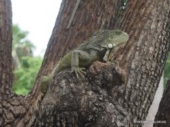 Guayaquil. Seminario park. Green iguana (Iguana iguana) (12)