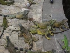 Guayaquil. Seminario park. Green iguana (Iguana iguana) (14)