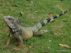 Guayaquil. Seminario park. Green iguana (Iguana iguana) (15)