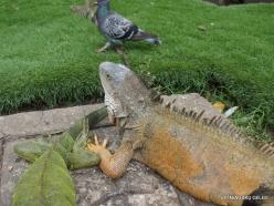 Guayaquil. Seminario park. Green iguana (Iguana iguana) (17)