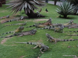 Guayaquil. Seminario park. Green iguana (Iguana iguana) (18)