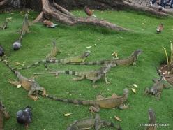 Guayaquil. Seminario park. Green iguana (Iguana iguana) (4)