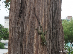 Guayaquil. Seminario park. Green iguana (Iguana iguana) (5)