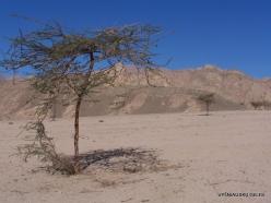 4 Sinai desert. Acacia tree (Vachellia sp.)