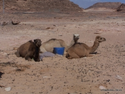 4 Sinai desert. Bedouins village. Youngs camels (2)