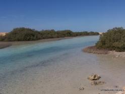 Ras Mohammed national park. Mangroves with Avicennia marina (2)
